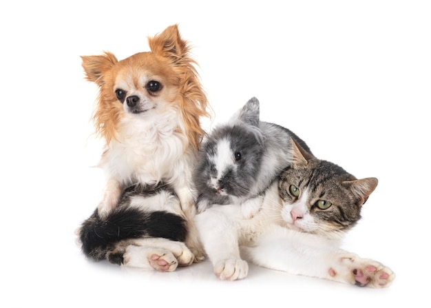 Dwarf rabbit, chihuahua and cat