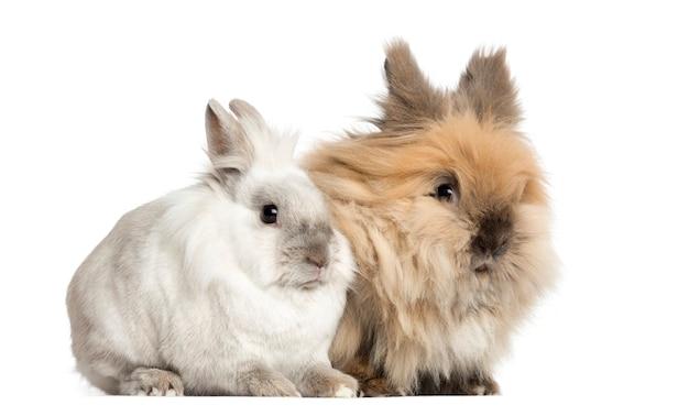 Карликовые кролики 2 года, изолированные на белом фоне