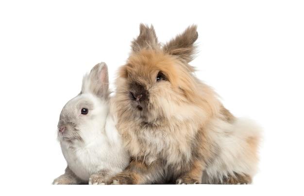 Карликовые кролики, изолированные на белом фоне