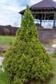 Карликовая белая ель picea glauca conica в саду