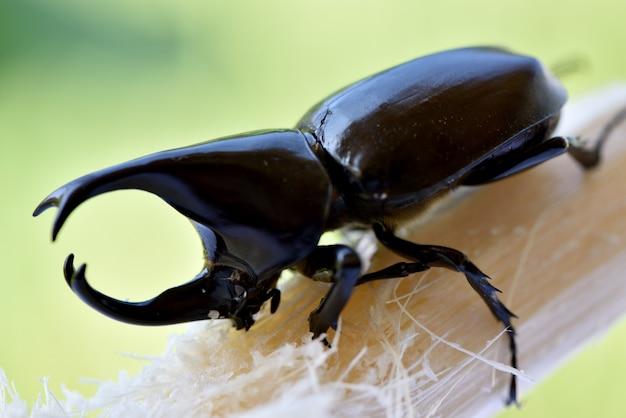 Dynastinae животные на поверхности природы.
