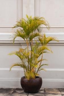 Растение dypsis lutescens в горшке. общее название: пальма золотого тростника, пальма ареки, пальма желтой или бабочка.