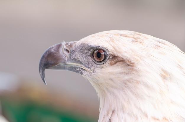 Eagle closeup face, portrait of white hawk, close-up bird eye