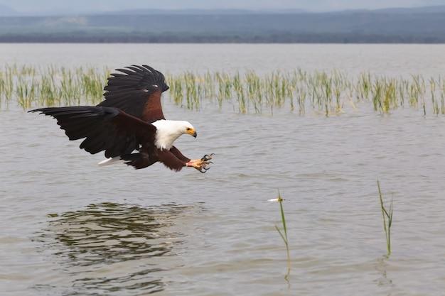 Орел охотник на рыбу орел из озера баринго кения африка