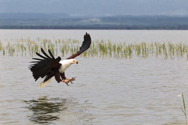 Орел рыбак озеро баринго кения африка