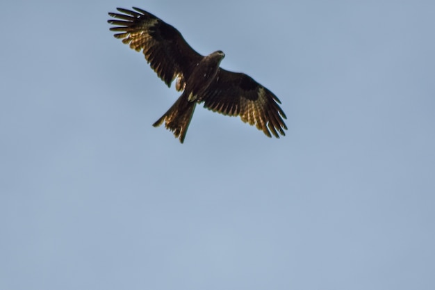 Eagle flies across the blue sky