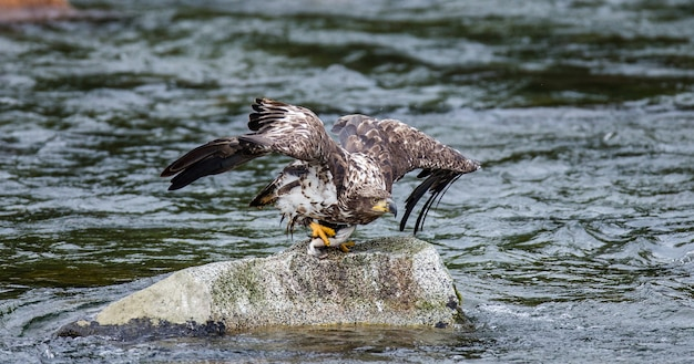 Орел летит с камня с добычей в когтях. аляска. национальный парк катмай. соединенные штаты америки.