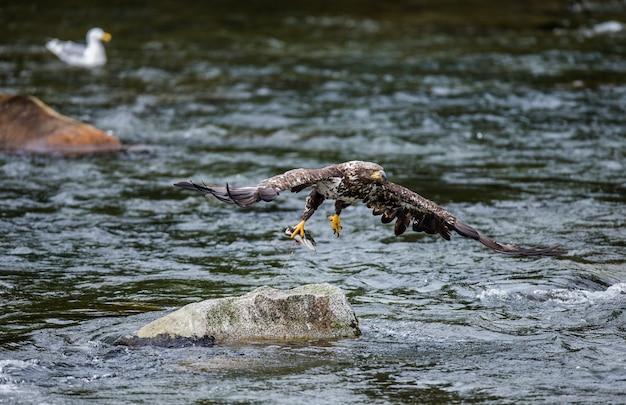 Орел летит с камня с добычей в когтях.