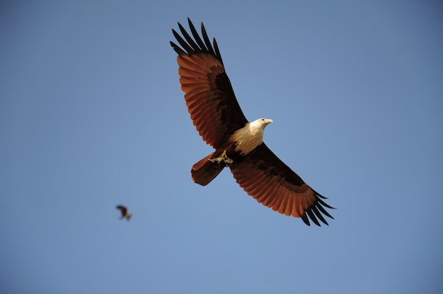Eagle flying and carrying fish in its talon