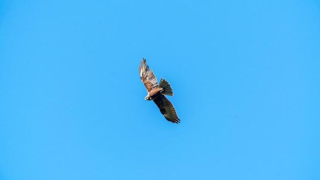 青い空を飛んでいるワシ