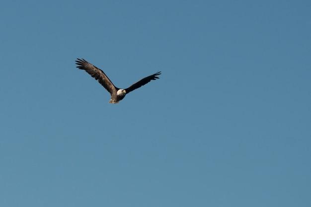 空を飛ぶイーグル、カナダ、オンタリオ州、レイク・オブ・ザ・ウッズ