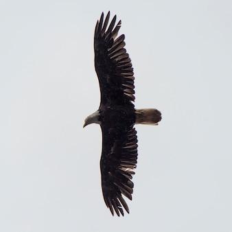 空に飛ぶイーグル、skeena-queen charlotte地域地区、haida gwaii、graham island、briti
