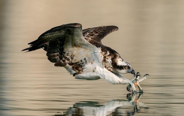 タロンに魚を乗せて飛ぶワシ、水の近くで鳥を狩る。