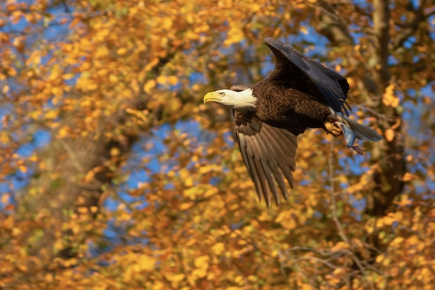 Eagle flying with fish in its claws, alcon hunting fish