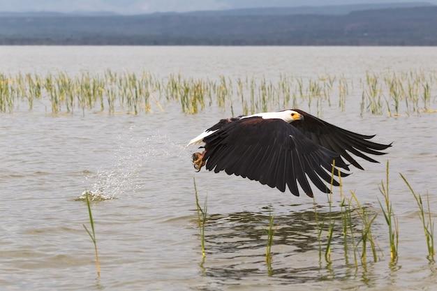 Орел хватает рыбу с поверхности озера баринго в кении