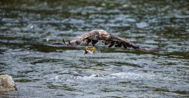 Орел летит с добычей в когтях.
