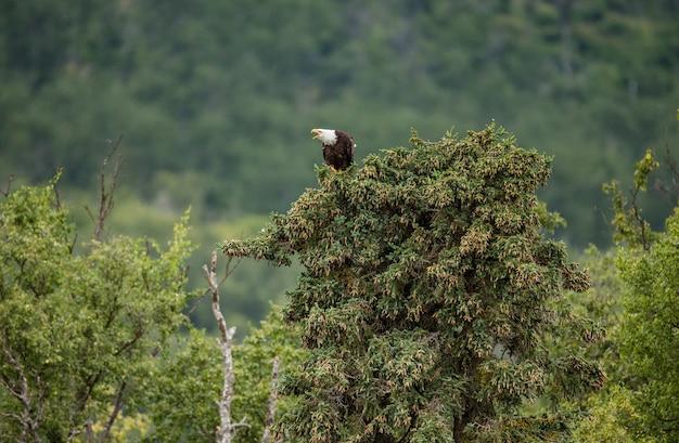 ワシは背景の松林の上に座っています。