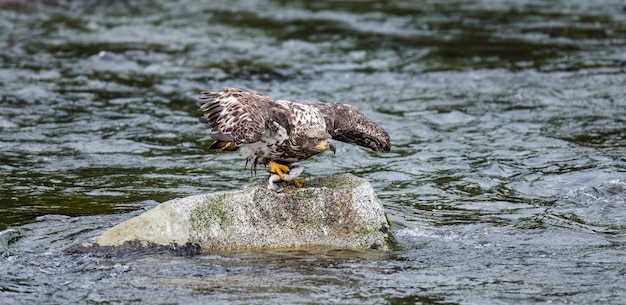 Орел стоит на скале посреди реки и держит в когтях добычу. аляска. национальный парк катмай. соединенные штаты америки.