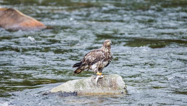 독수리는 강 한가운데 바위 위에 서서 그 발톱에 먹이를 잡고 있습니다.