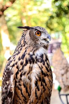 Eagle owl ( eurasian eagle-owl) close up