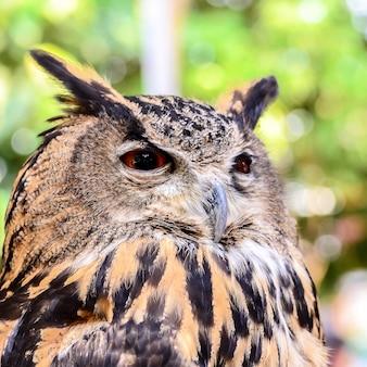 Eagle owl ( eurasian eagle-owl) close up