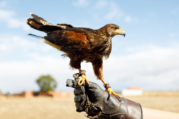 Eagle perched on the man's hand.