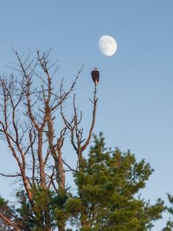 カナダ、オンタリオ州、カナダ、レイク・オブ・ザ・ウッズ、ケノラ、樹上に羽ばたくイーグル