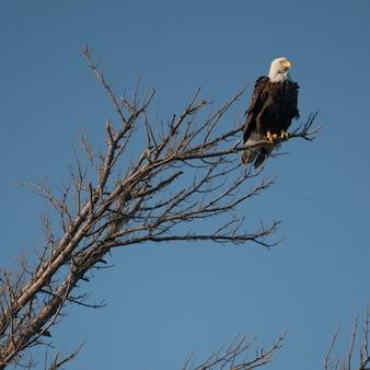 カナダのオンタリオ州、レイク・オブ・ザ・ウッズの木々に羽ばたくイーグル