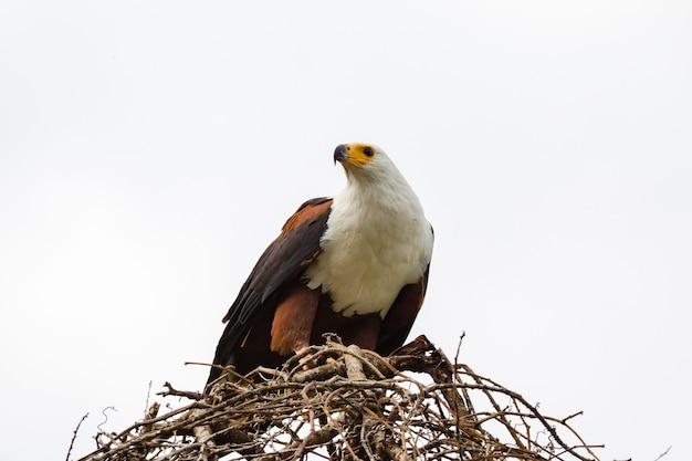 Орел-рыбак на гнезде питается добычей озеро баринго кения