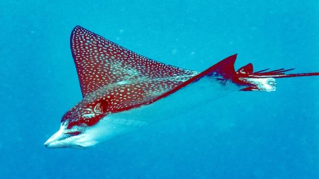 Eagleray closeup in the blue water, maldives.