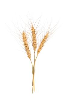 白い背景の上の大麦の穂
