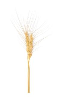 白の大麦の穂