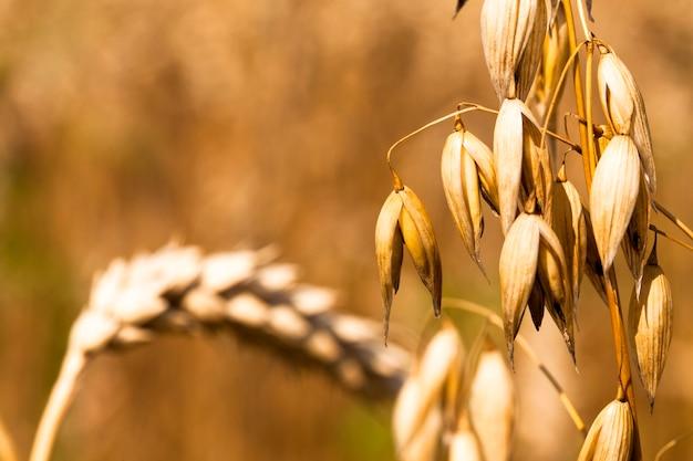 オーツ麦の穂