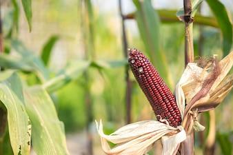 カーネルとレッドコーンの耳はまだ有機トウモロコシ畑の穂軸に接続されています。