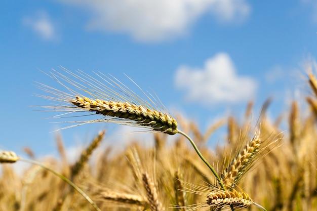 青い空と雲を背景にライ麦の穂
