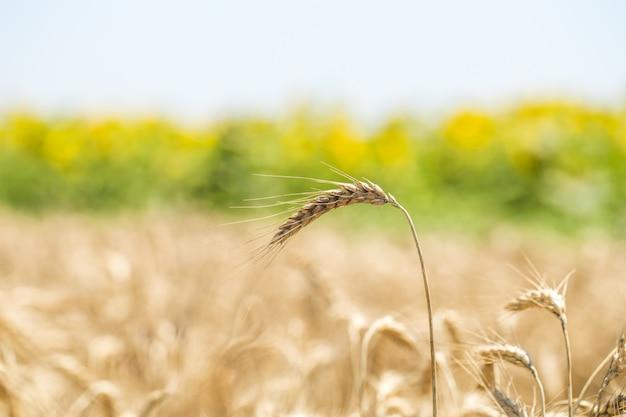 Ухо пшеницы крупным планом на поле