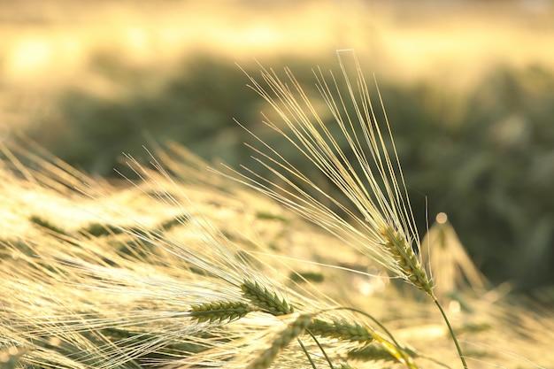 夕暮れ時の畑の小麦の穂