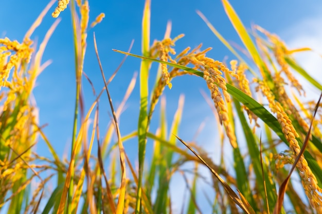 Ear of rice in the field. golden ears of rice from an ant viewpoint.