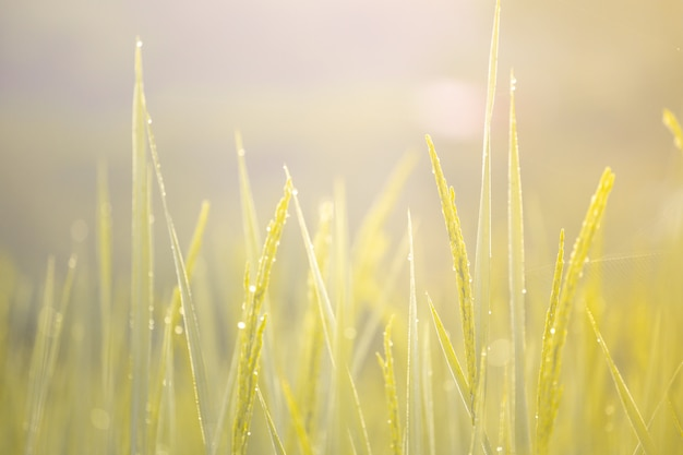 Ear of rice and golden morning light