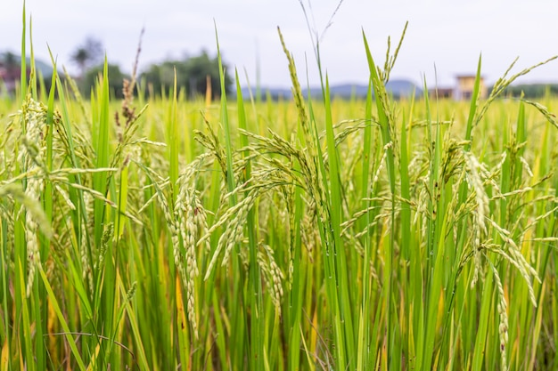 Ear of rice or paddy field