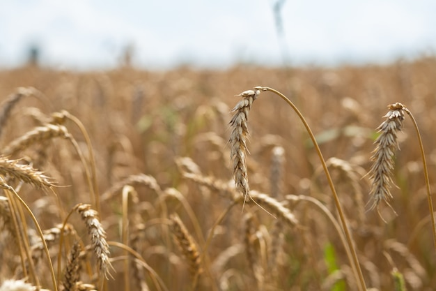 Ear of wheat on a sunny day