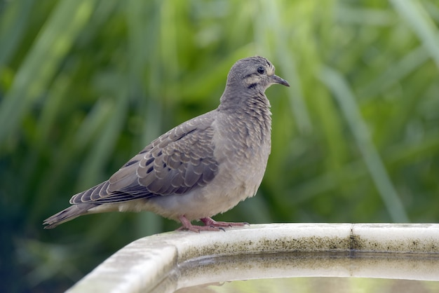 Eared dove perched on the white stone drinking fountain
