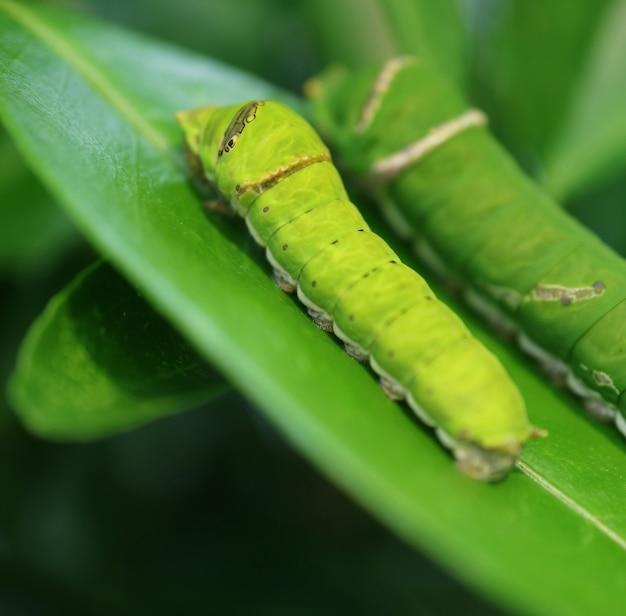 초기 5령기 라임호랑이 애벌레와 5기말 라임나무 잎에서 쉬고 있는 더 큰 것