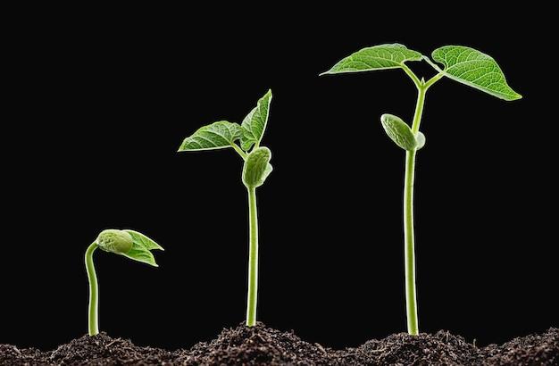 Ранние зеленые всходы фасоли из почвы.