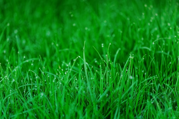 Early morning dew on fresh green grass. natural background.