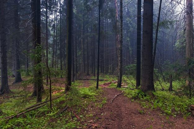 Рано утром в старом еловом туманном лесу. тропа уходит в туман между высокими деревьями.