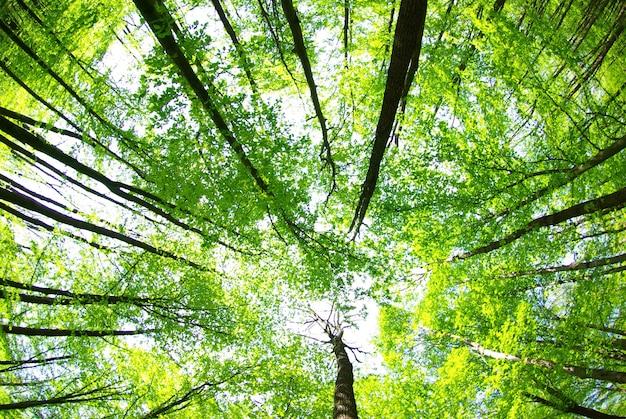 Раннее утреннее солнце в зеленом лесу