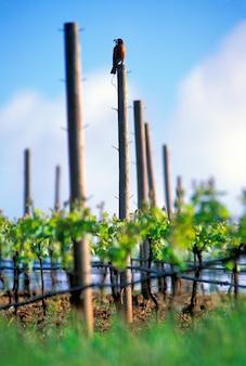 Early robin getting the worm in oregon vineyard