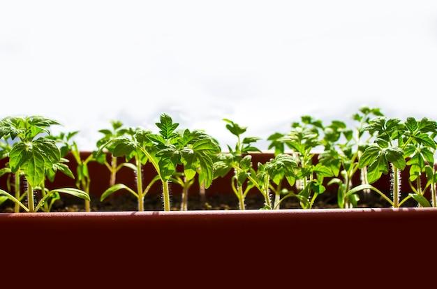 Ранние саженцы выращивают из семян в ящиках в домашних условиях на подоконнике саженцы в торфяных горшках детское растение ...
