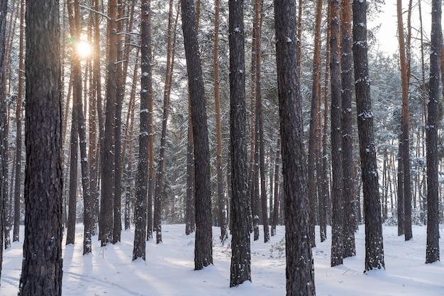 소나무 숲에 눈의 이른 봄 풍경. 프리미엄 사진